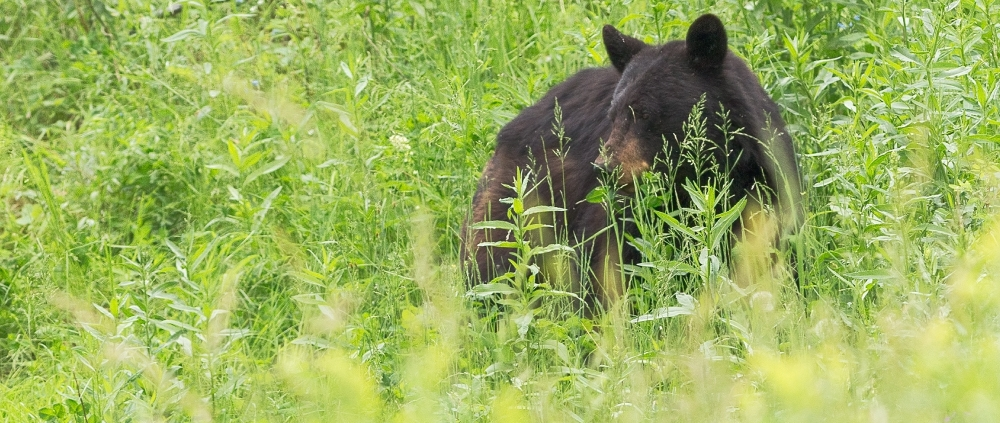 Where to see bears in Yosemite