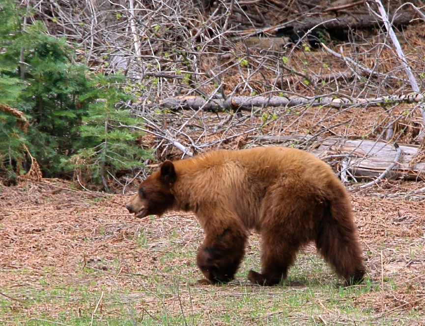 Yosemite Bear on Luxury Private Tour
