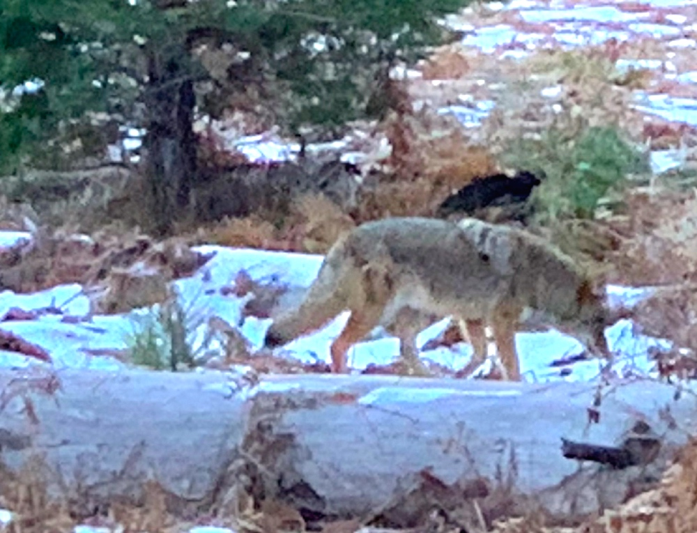 Coyote in Yosemite on Luxury Private Tour