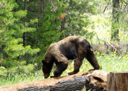 Private Yosemite Hike Bear