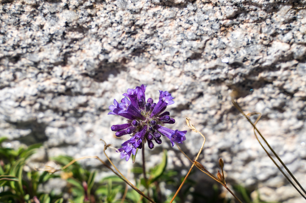 Yosemite wildflower on granite