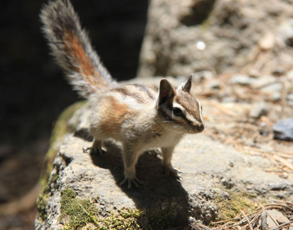 Chipmunk on Private Yosemite Tour without Technology