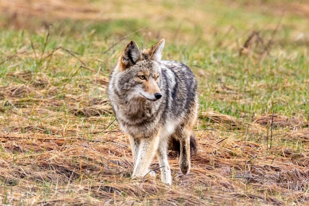Coyote on Private Yosemite Tour